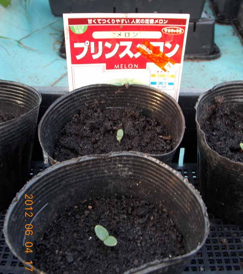 プリンスメロンの芽