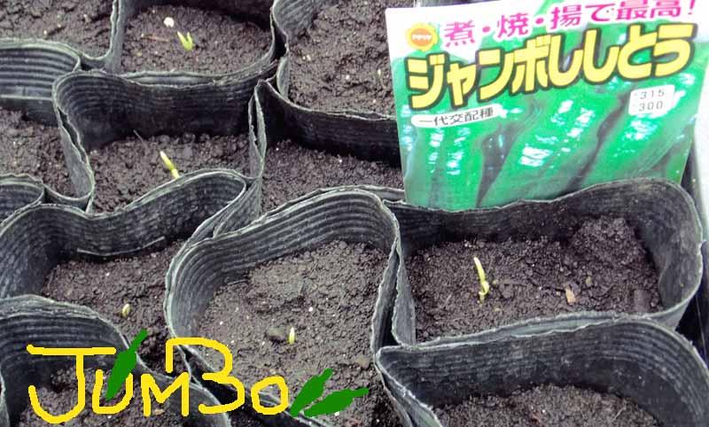 ジャンボシシトウの芽