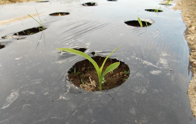 トウキビの芽