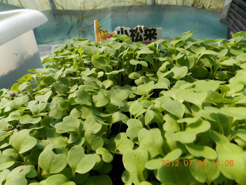 小松菜の芽