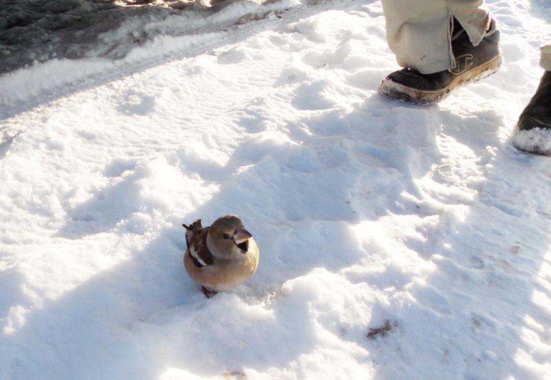 地べたに小鳥。