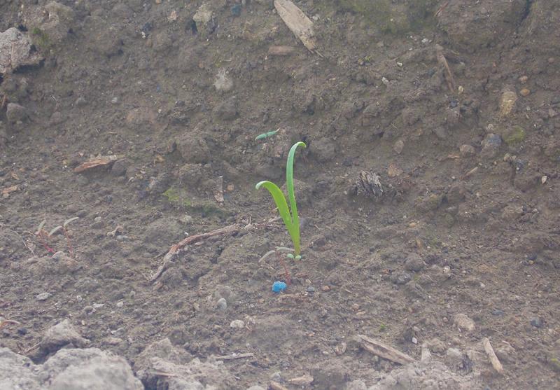 ホウレンソウの芽。