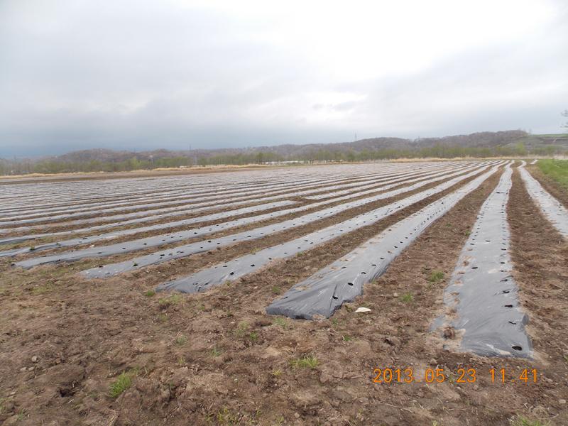 第二農場、トウキビ畑。広いです。